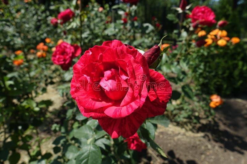 Fleur de rose rayée rouge image stock