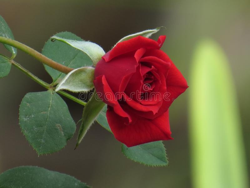 Fleur de rose de rouge avec les feuilles vertes photos stock