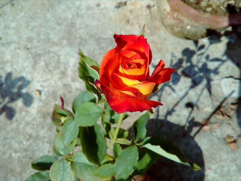 Fleur de fleur de rose de rouge en été image stock
