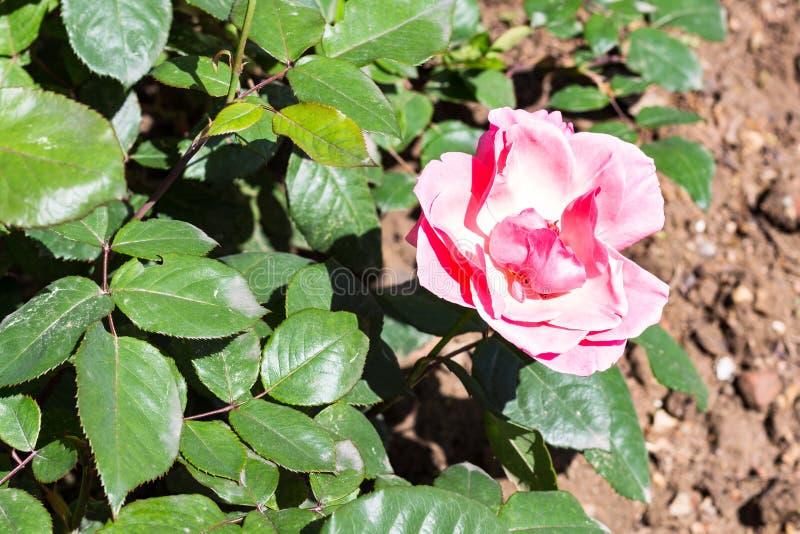 fleur de rose de rose sur le buisson vert dans le jardin image stock