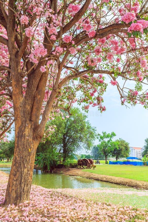 Fleur de rosea de Tabebuia photo stock