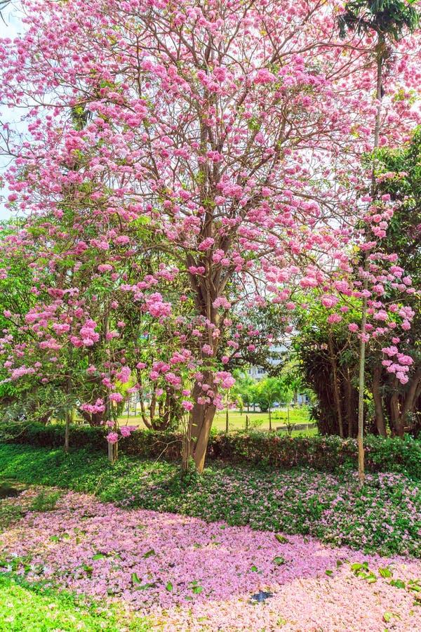 Fleur de rosea de Tabebuia images libres de droits