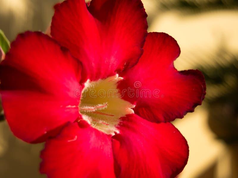 Fleur de rouge de Desser photos libres de droits