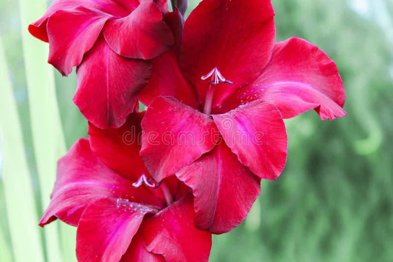 Fleur de rouge de glaïeul Fond image libre de droits