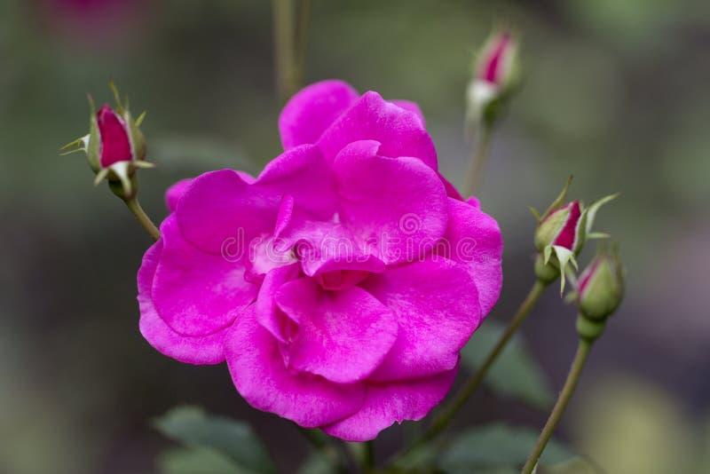 Fleur de rugosa rose de Rosa avec des bourgeons dans le jardin images libres de droits