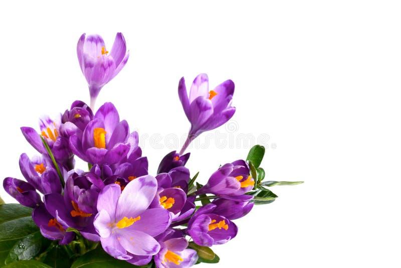 fleur de safran photographie stock libre de droits