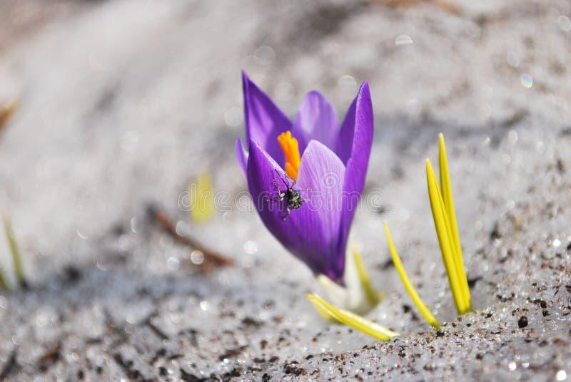 Fleur de safran dans la neige images libres de droits