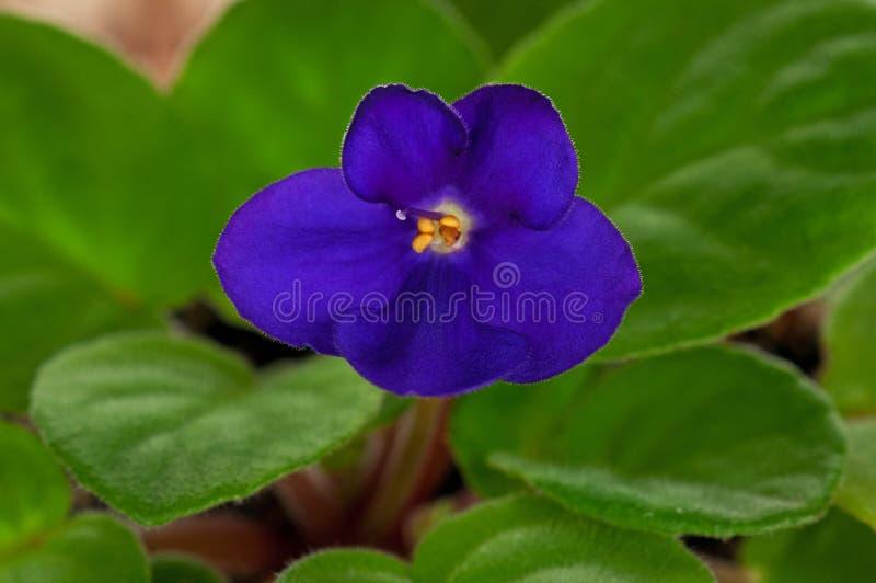 Fleur de Saintpaulia image libre de droits