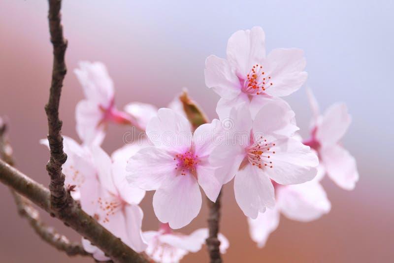 Fleur de Sakura images libres de droits
