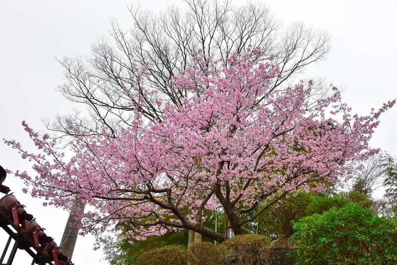 Fleur de Sakura au Japon photos libres de droits