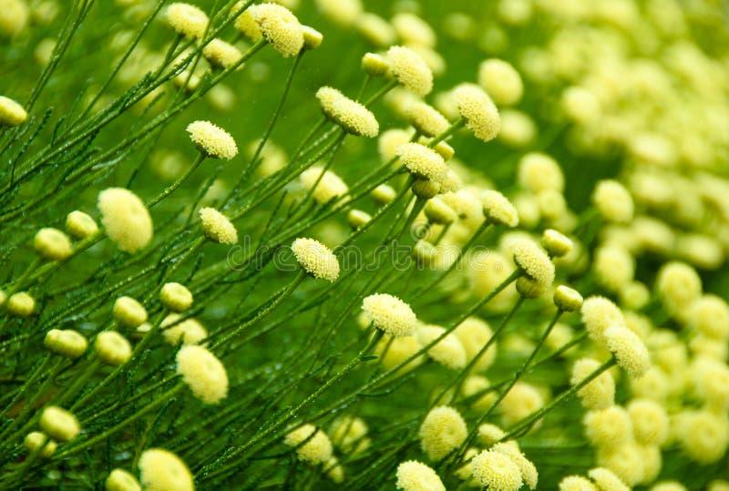 Fleur de santolina de Rosemary photo stock