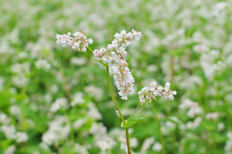 fleur de sarrasin image stock image du agronomie affermage 58443035. Black Bedroom Furniture Sets. Home Design Ideas