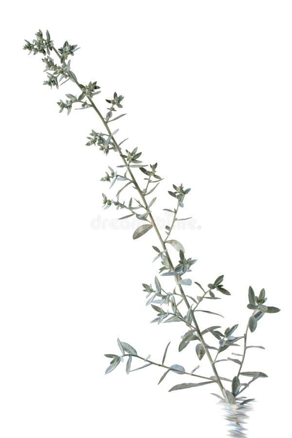 Fleur de sauge argentée images stock