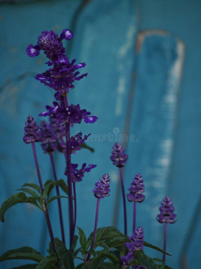 Fleur de sauge pourpre photographie stock libre de droits