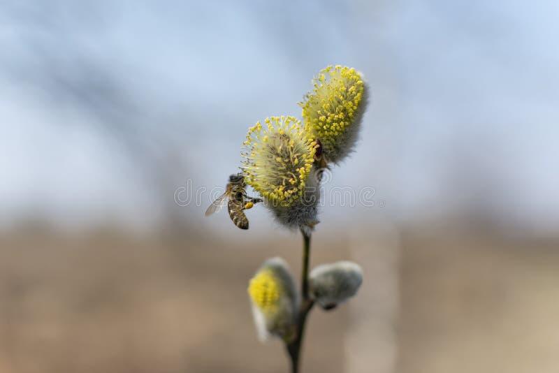 Fleur de saule en premier ressort photos libres de droits