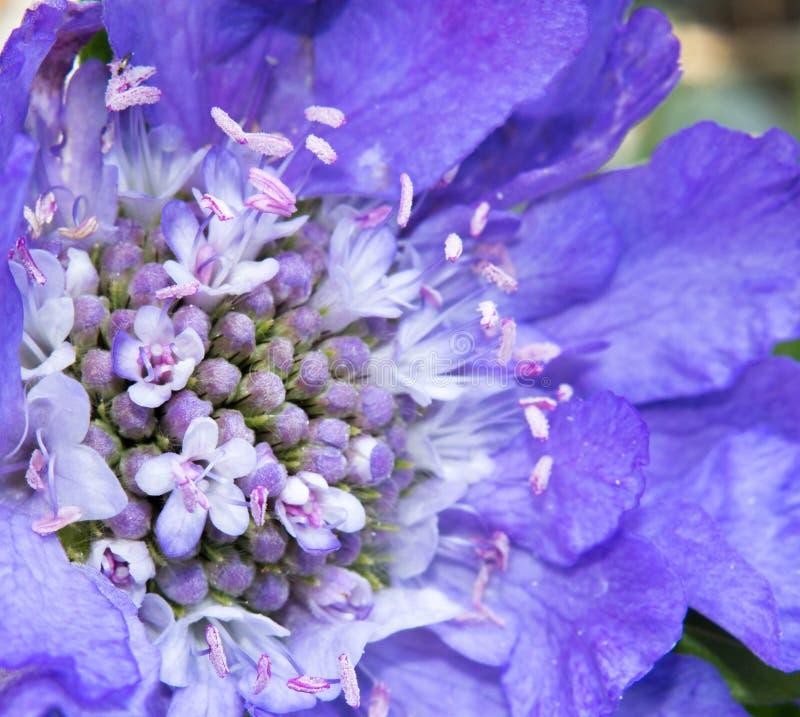 Fleur de Scabiosa photographie stock libre de droits