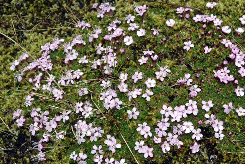 Fleur de silene de famille rose sur des champs de l'Islande images stock
