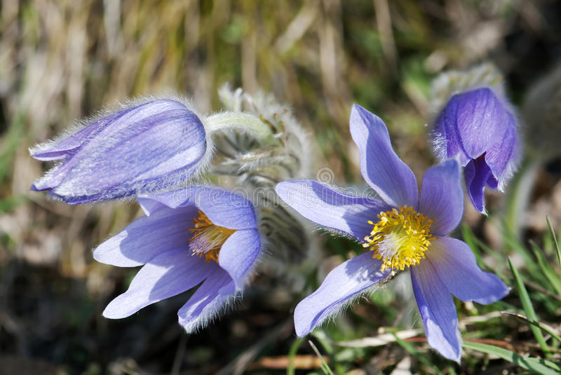 Fleur de slavica de Pulsatilla photos stock