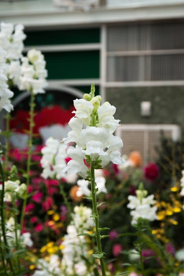 Fleur de Snapdragon photo libre de droits
