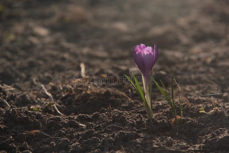 Fleur de soleil photo stock