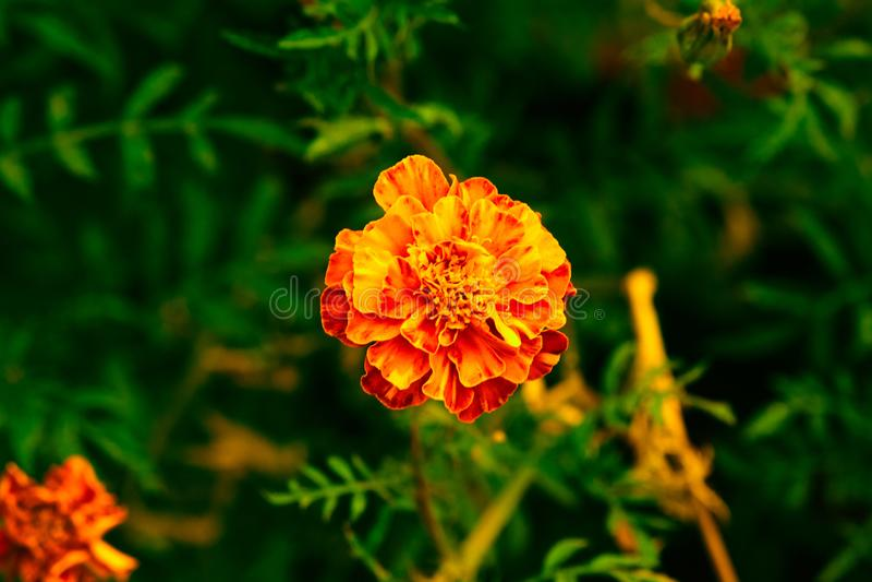 Fleur de souci photographie stock