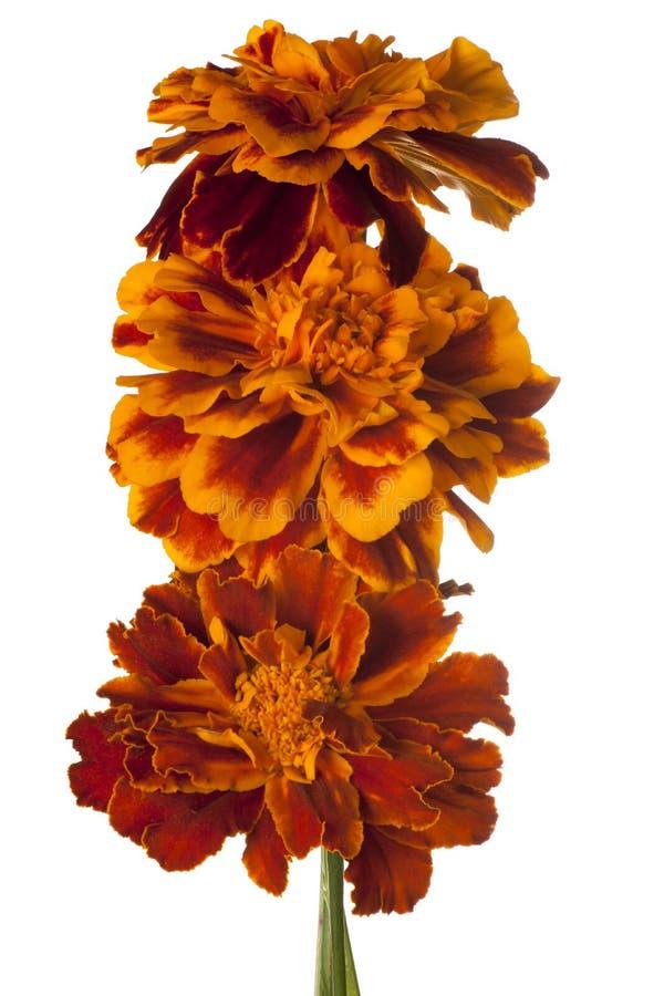 Fleur de souci d'isolement photographie stock