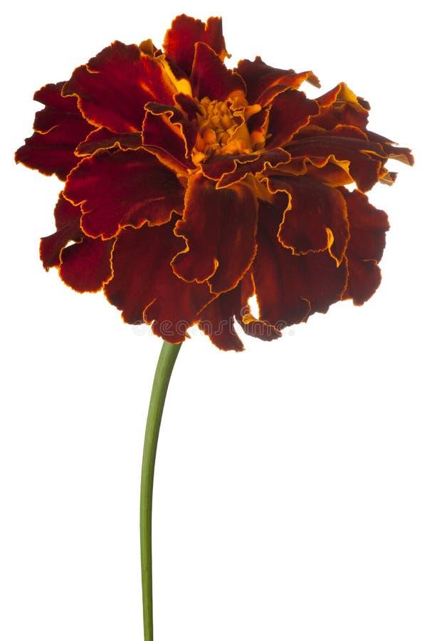 Fleur de souci d'isolement photo libre de droits
