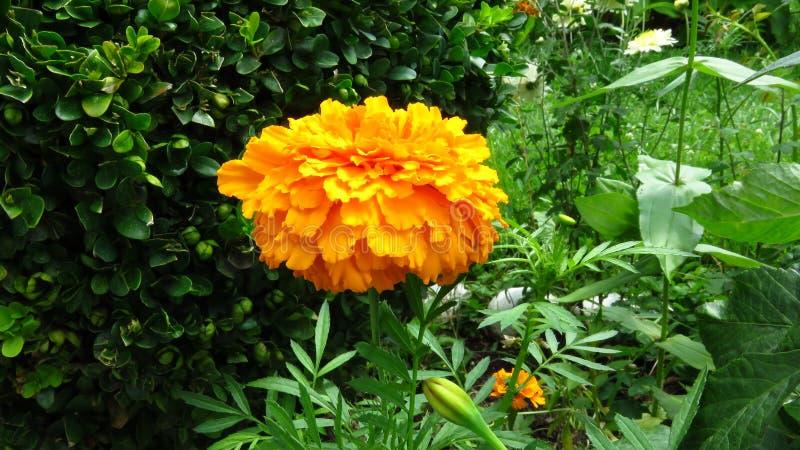 Fleur de souci, mélange des oranges et jaunes images stock