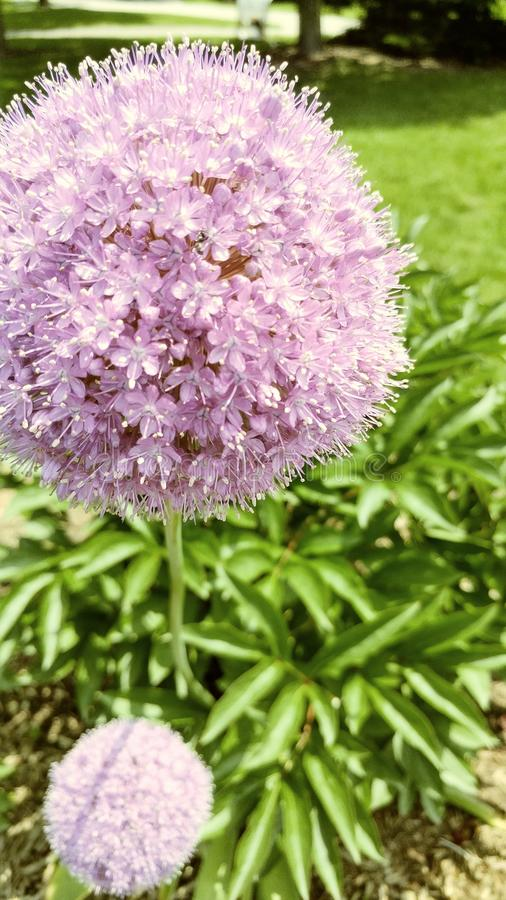 Fleur de souffle photo libre de droits
