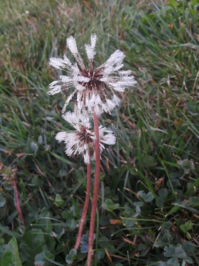 Fleur de souhait photos libres de droits