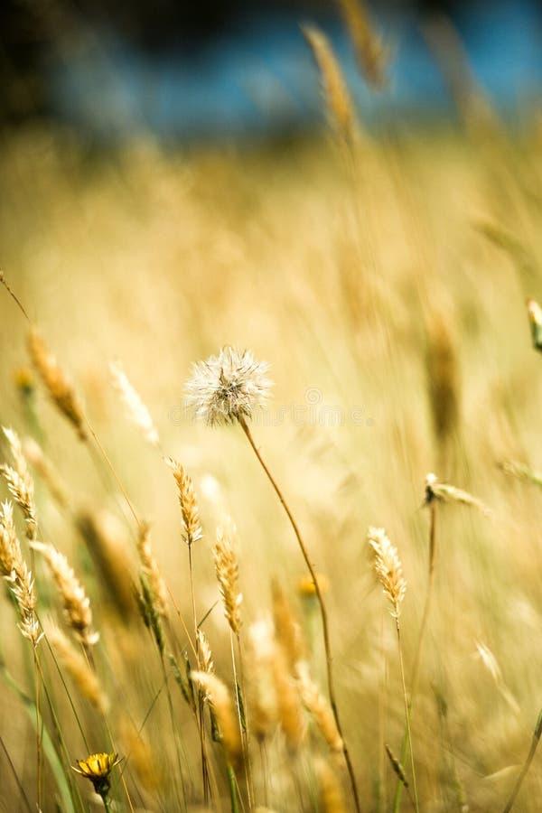 Fleur de souhait dans le pré d'été photographie stock
