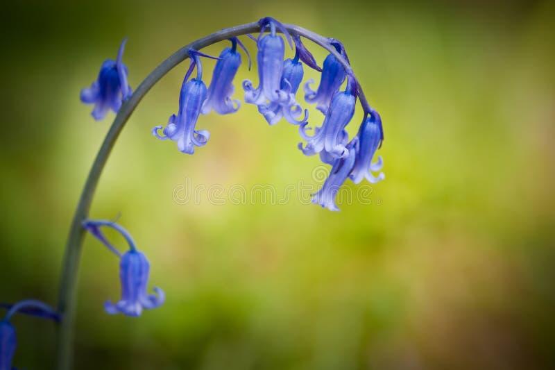Fleur de source de Bluebell sur le fond vert photo stock