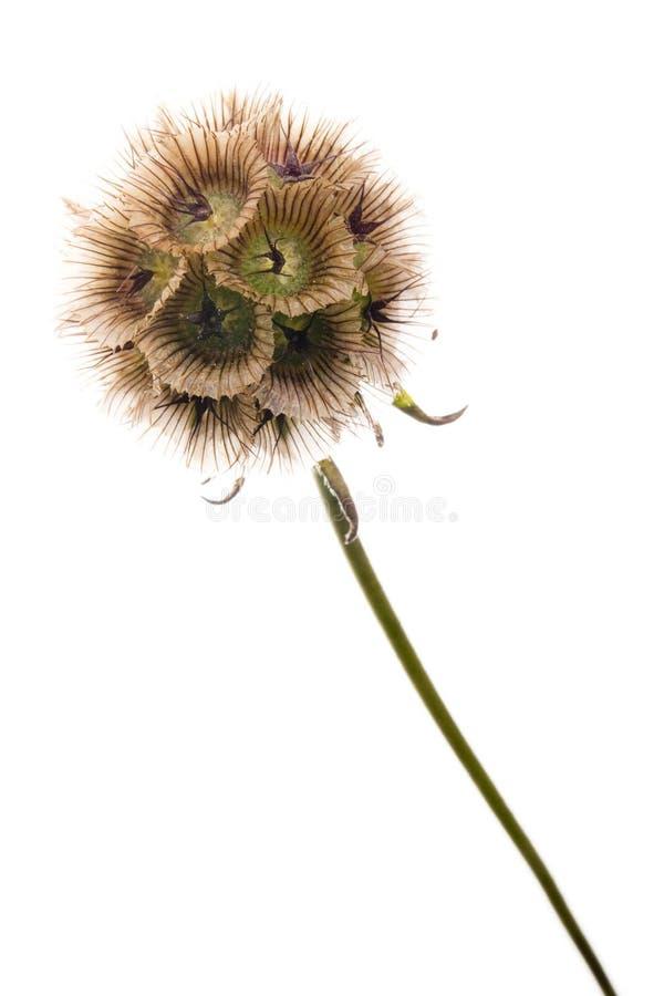 Fleur de sphère photo stock