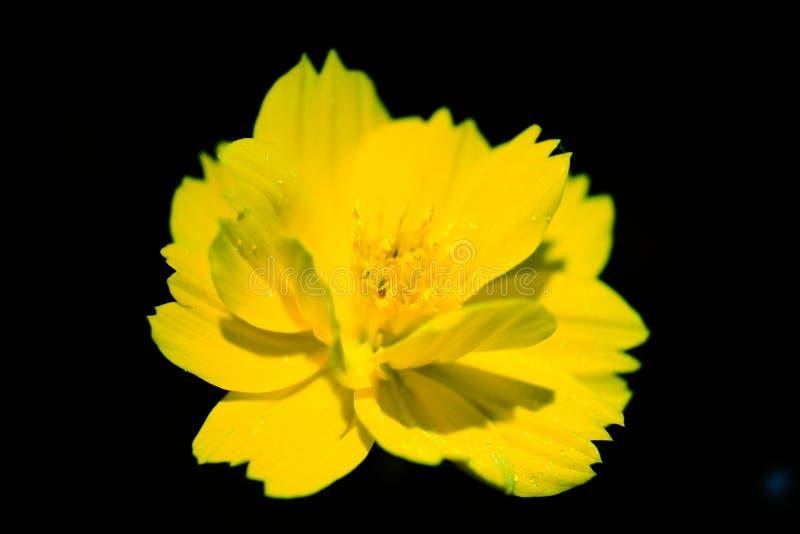 Fleur de Starburst photographie stock libre de droits