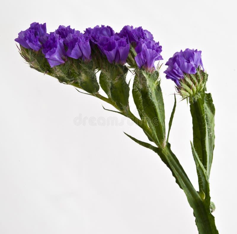 Fleur de Statice images stock