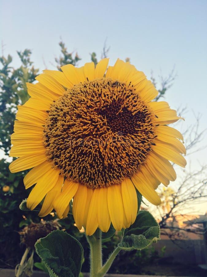 Fleur de Sun photographie stock