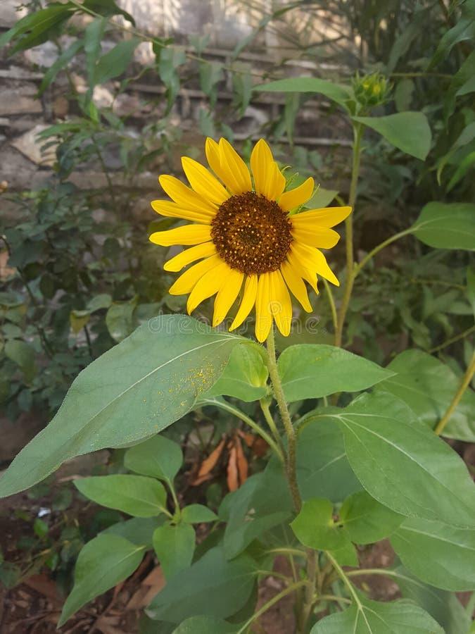 Fleur de Sun photos stock