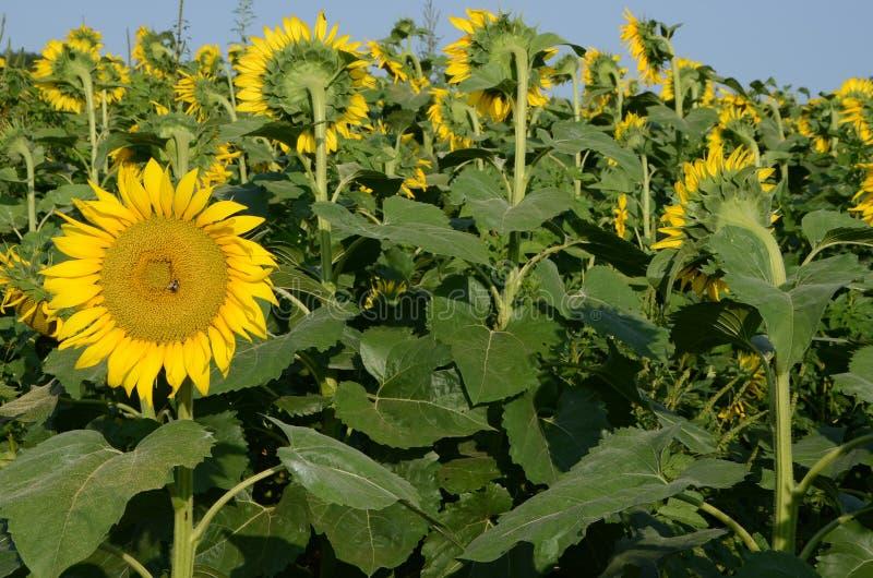 Fleur de Sun regardant l'autre voie photographie stock libre de droits