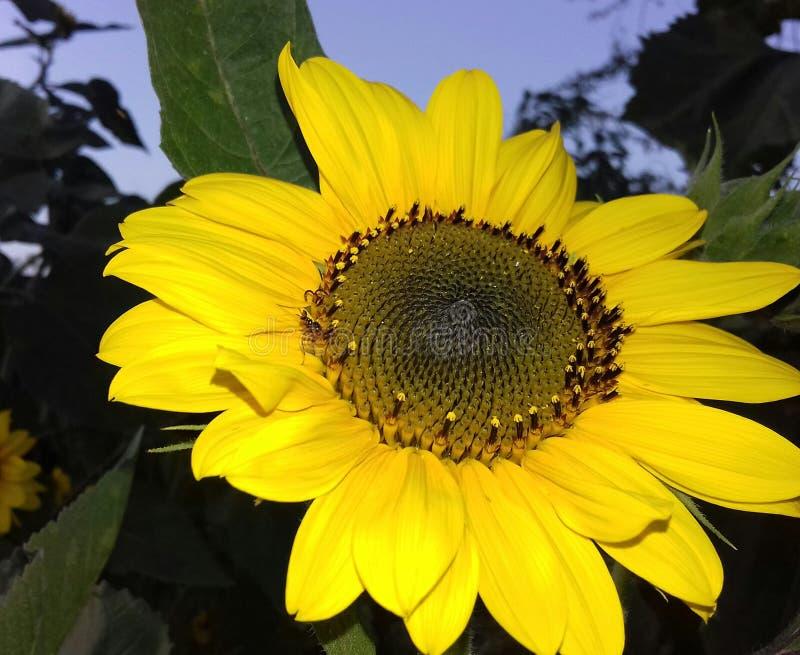 Fleur de sunl de Natura photos libres de droits
