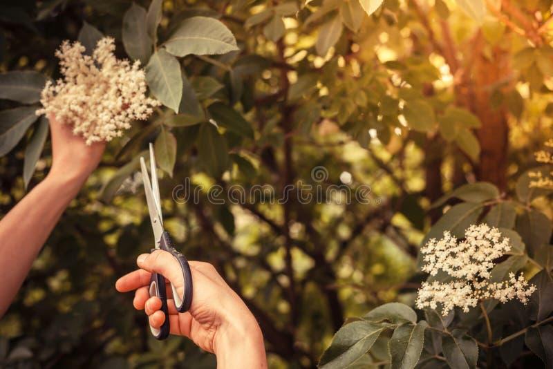 Fleur de sureau de coupe de jeune femme avec des ciseaux photographie stock
