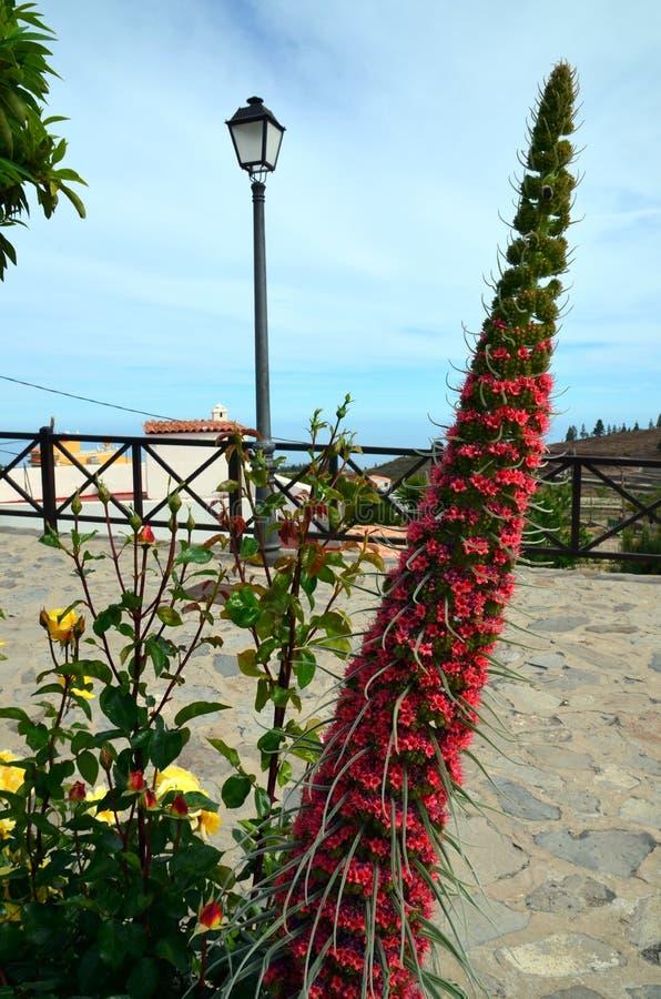 Fleur de Tajinaste (wildpretii d'Echium) photo libre de droits
