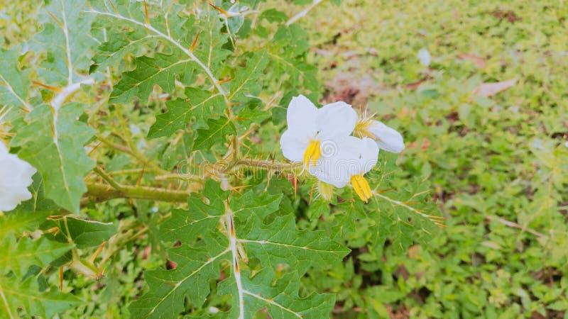 Fleur de Thoren photos libres de droits