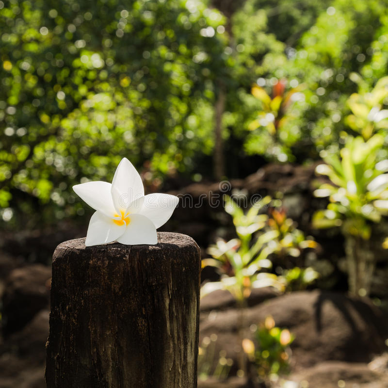 Fleur de Tiare - symbole du Tahiti image stock