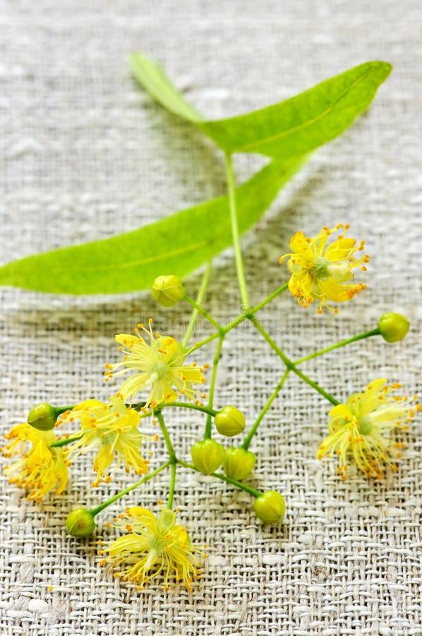 Fleur de tilleul photos libres de droits