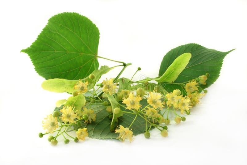 Fleur de tilleul photo stock