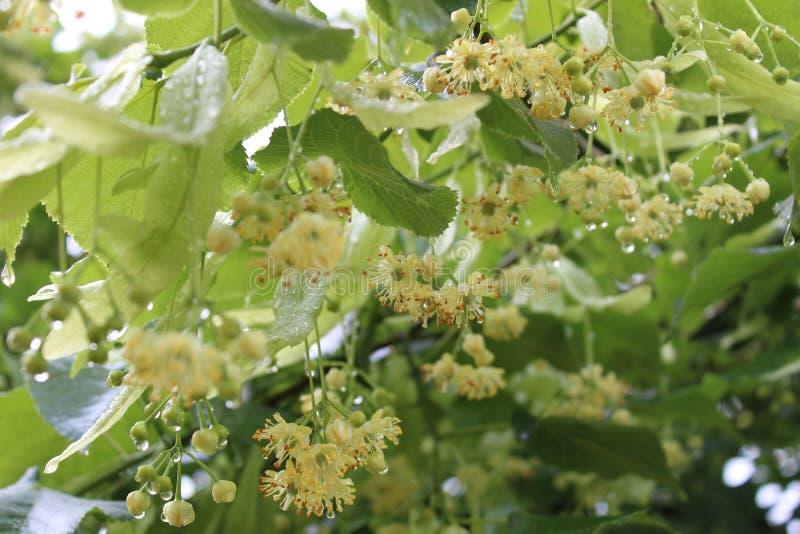 Fleur de tilleul apr?s la pluie images libres de droits