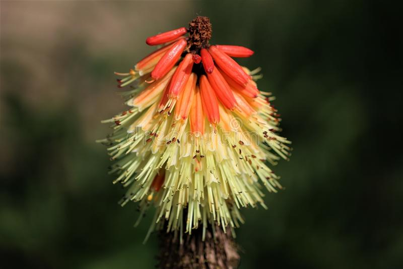 Fleur de tisonnier d'un rouge ardent ou de lis de torche seul se tenant images libres de droits