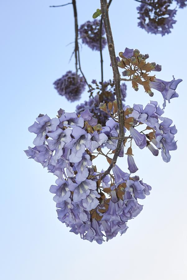 Fleur de tomentosa de Paulownia images libres de droits