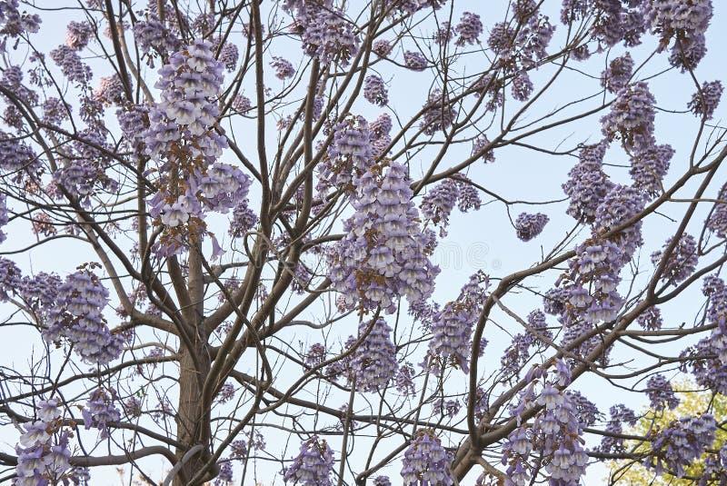 Fleur de tomentosa de Paulownia photographie stock libre de droits