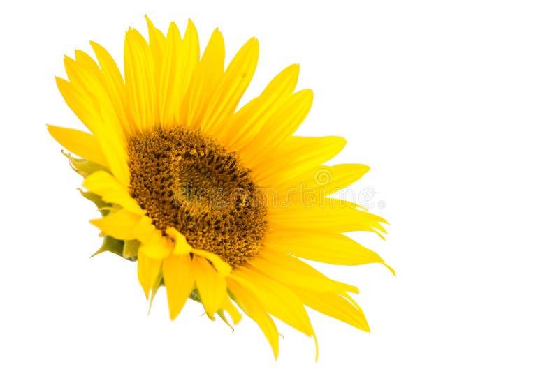 Fleur de tournesol d'isolement photos libres de droits